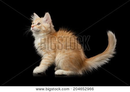 Playful Ginger Siberian kitten standing and looking up on isolated black background, side view