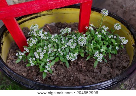 Flowerbed with small white flowers in big flower pot