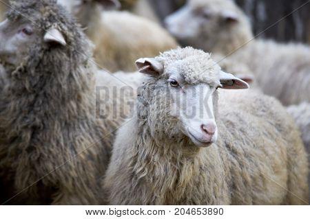 Sheep in altay farm. Grey flock. Animal