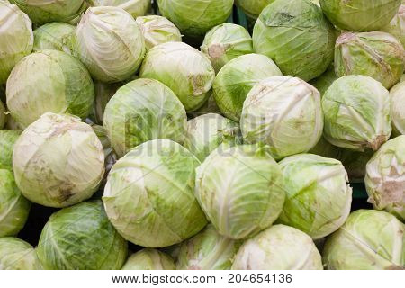 Green fresh cabbage background cabbage from field. cabbage background. cabbage harvest.