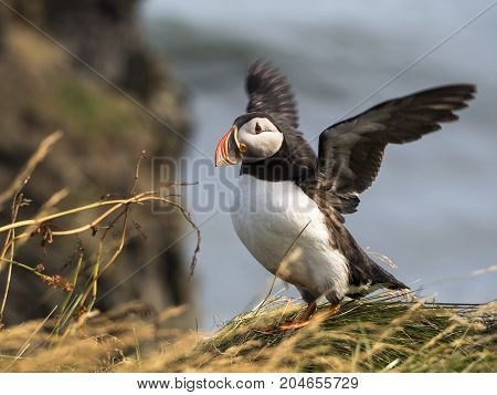 Atlantic puffin - fratercula arctica - on a coast cliff in Southern Iceland