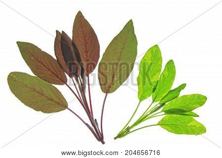 Salvia officinalis - various sage leaves isolated against white background