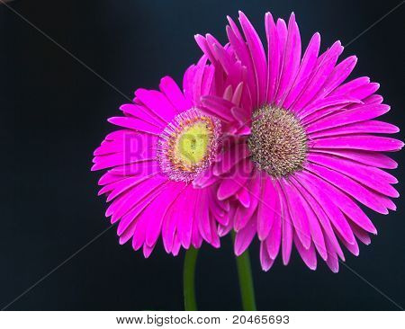 Hdr Wet, Pink Gerber Daisy Couple Entwined Black