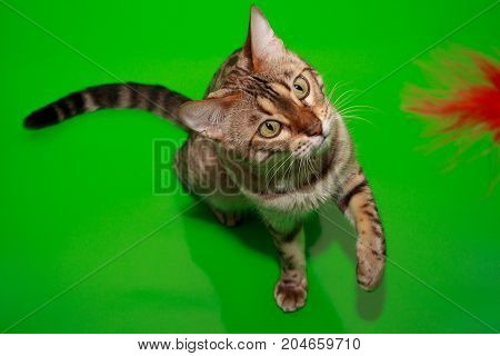 Adult bengal cat is playing with his toy. Pet animals.