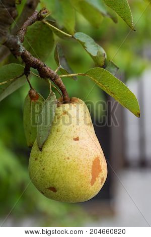 closeup of a branch with hanging pear fruit in the garden