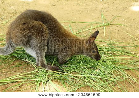 dwarf kangaroo benette in the zoo  with nature