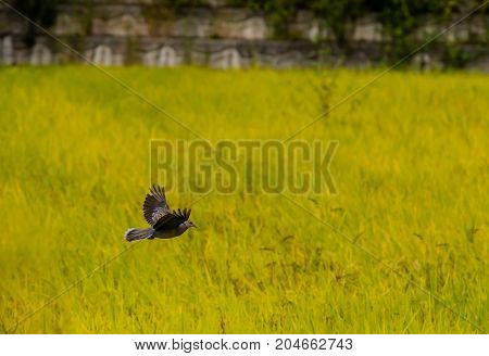 Lone Turtle Dove In Flight Above Green Field