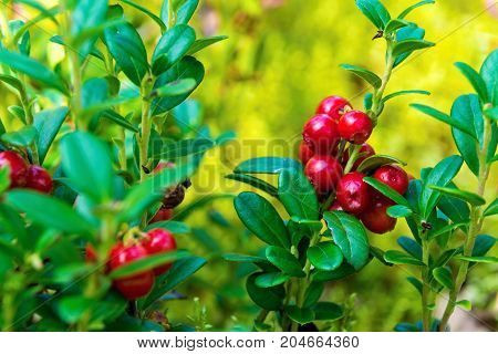 bunch of berries of wild ripe red cowberry closeup in the foreground