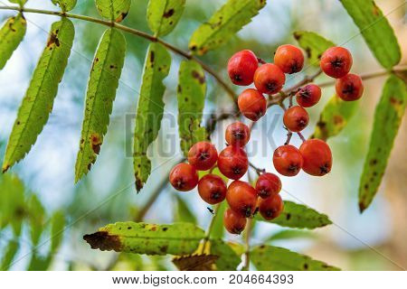 one wild bush of a ripe red mountain ash or rowan closeup in the foreground