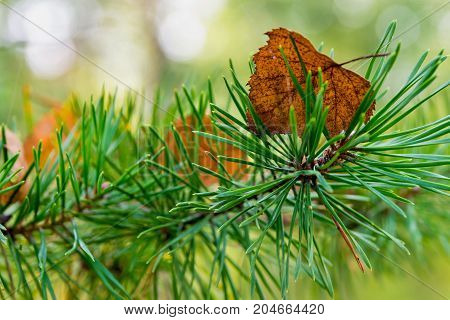 old autumn foliage on green needles of a branch of a pine or coniferous tree