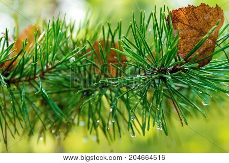 old autumn foliage on wet green needles of a branch of a pine or coniferous tree with rain drops or dew