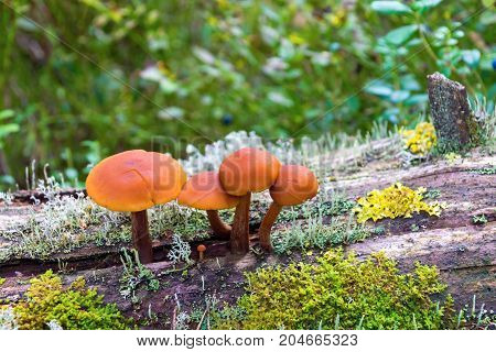 small group or bunch of toadstools or wild mushrooms with a moss and with lichen closeup on a trunk of an old tree