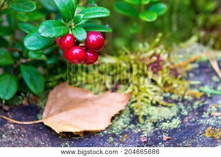 one green branch of wild cowberry with red ripe berries closeup in the foreground and one unsharpened fallen-down leaf