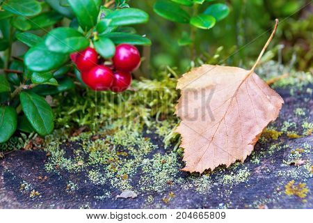 one autumn leaf close up and one unsharp cluster of wild cowberry with red berries closeup
