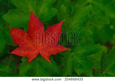 Single red maple leaf among green leaves. Autumn pattern.