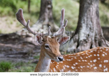 Fallow buck with spots and velvet on antlers close up