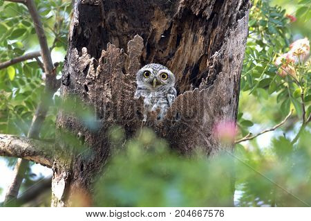 Spotted Owlet Athene Brama Cute Birds In Tree Hollow