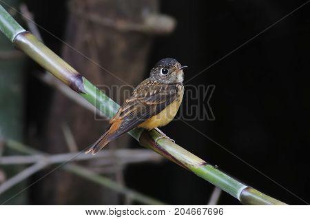 Ferruginous Flycatcher Muscicapa Ferruginea Cute Birds Of Thailand
