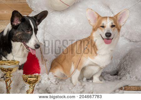 Portraits of beautiful welsh corgi corgi dogs cardigan black and welsh corgi pembroke redheads sitting on a white wooden floor