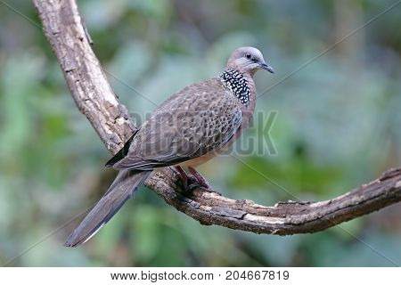 Spotted Dove Spilopelia Chinensis Male Beautiful Birds Of Thailand