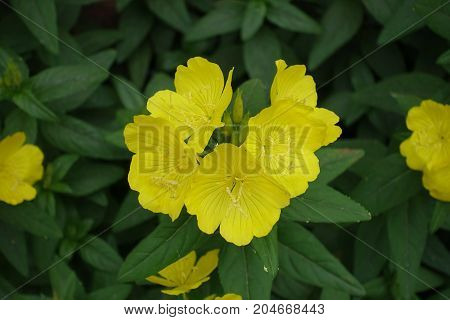 Cup Shaped Yellow Flowers Of Evening Primrose