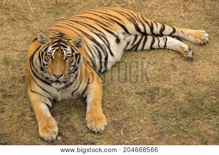 A large striped tiger lies and rests in the park on dried grass during the day