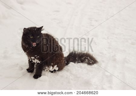 Beautiful fluffy black cat with yellow eyes on white snow cold winter