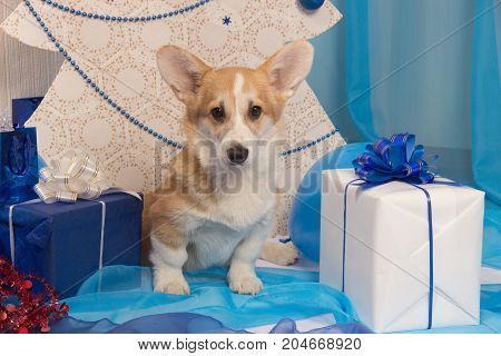 Beautiful dog puppy of welsh corgi pembroke of red color in a New Year's studio with a blue and white gift