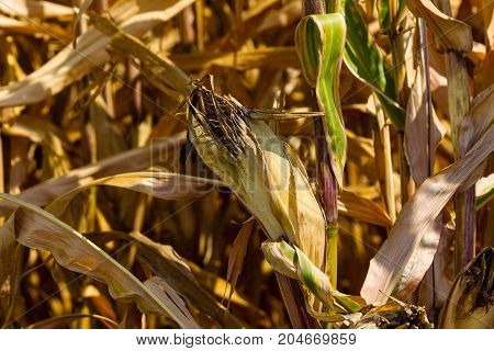 ear of corn as harvest time approaches on a sunny day