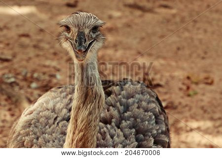 Greater Rhea looking at camera smiling close up