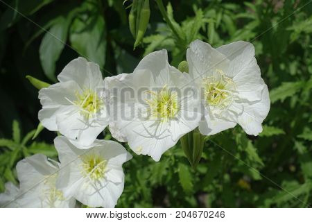 White Flowers Of Mexican Primrose From Above