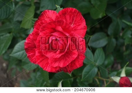Bright Red Rose Flower  Accentuated With Dark Stripes