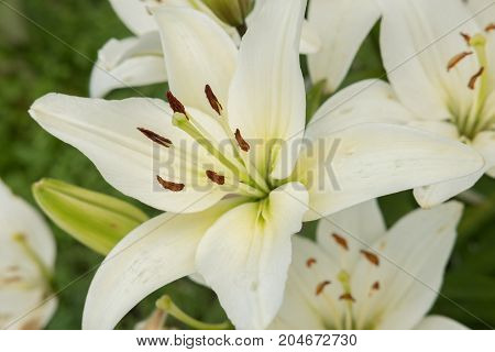 Multicolored garden beautiful large lilies with stamens on the flowerbed in summer