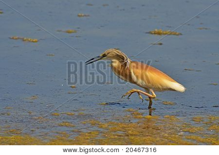 red heron walking on the marsh surface poster