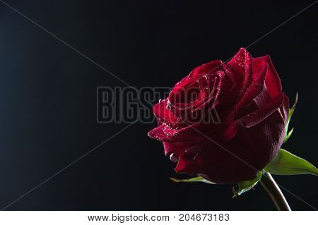 Beautiful red rose with water droplets on petals in a glass with water on a black background