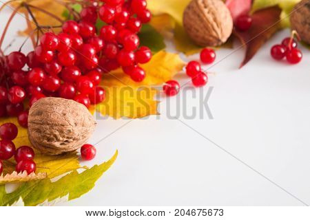 Autumn maple leaves, viburnum and walnuts frame isolated on white background with copy space. Beautiful fall yellow foliage border. Seasonal harvest concept, closeup