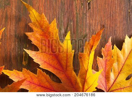 Fall seasonal background, yellow and red maple leaves closeup on rustic wood background with copy space.