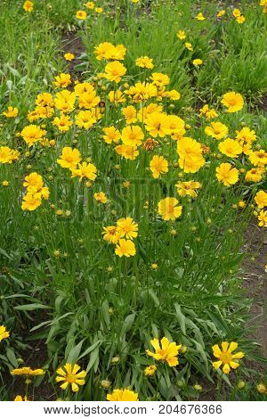 Full Length View Of Flowering Coreopsis Lanceolata