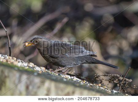 Blackbird, Female, On A Tree Stump, Eating