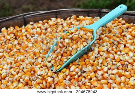 green scoop on many dried corn seed in old winnowing basket for background