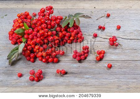 Bunch of red autumn rowan  berries with leaves on old rustic board.