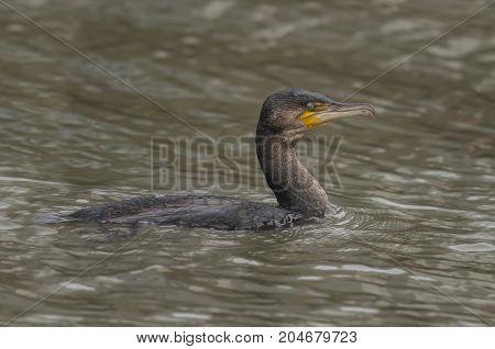 Cormorant Swimming In The Sea, Close Up