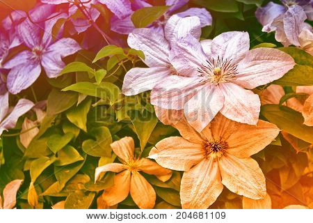 bright clematis flowers on a background of the summer landscape.