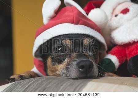 Little dog wearing red Santa Claus suit with Santa Claus doll in Christmas day.