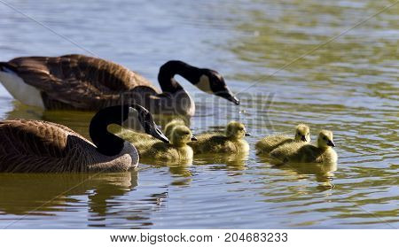 Postcard With A Family Of Canada Geese Swimming