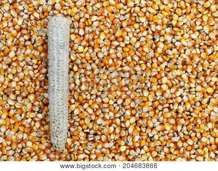 corn cob on many dried corn seed for background