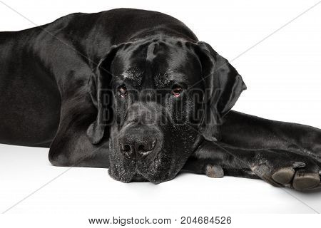 Great Dane Resting On White Background