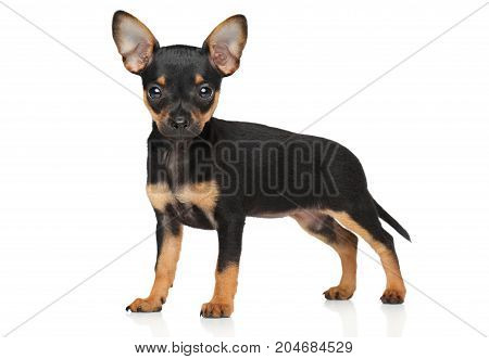 Toy Terrier Tiny Puppy In Stand