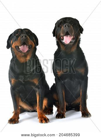 purebred rottweilers in front of white background