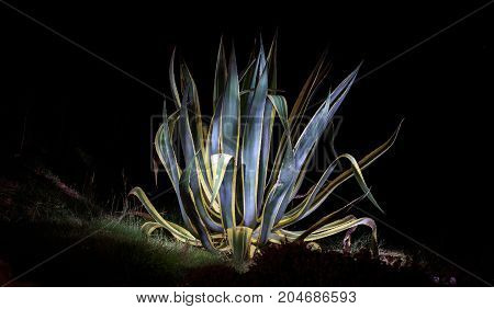 Agave plant illuminated by a torch at night